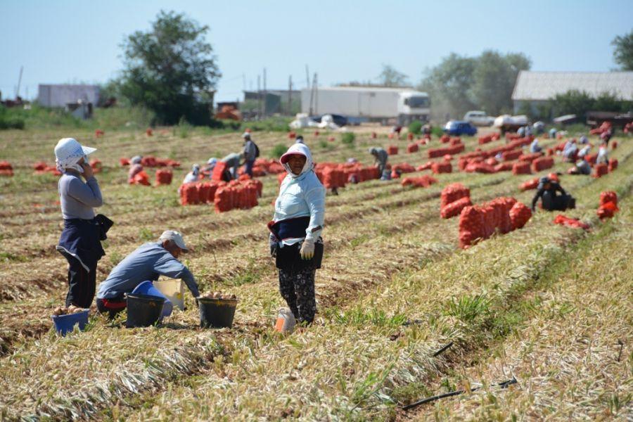 Астраханские фермеры гордятся своим луком