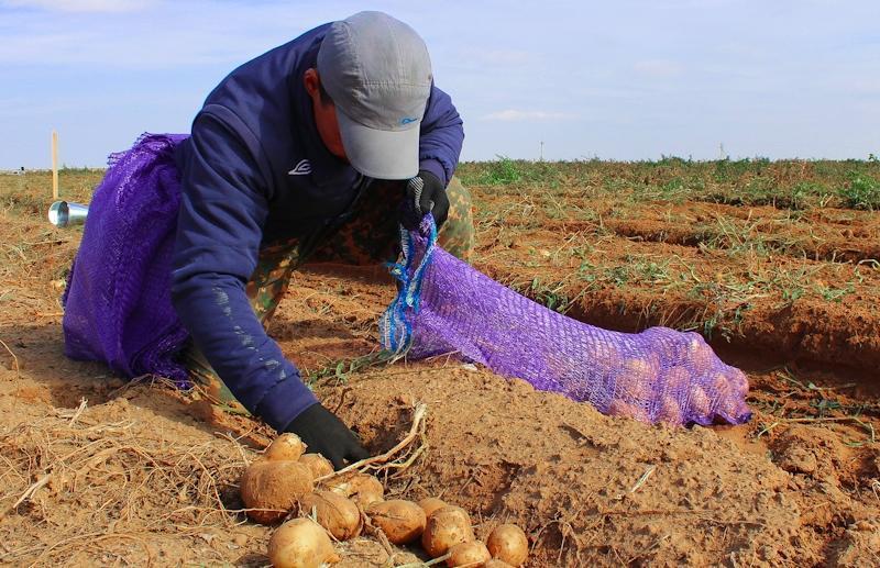 Сборщики картофеля сразятся за ценный приз