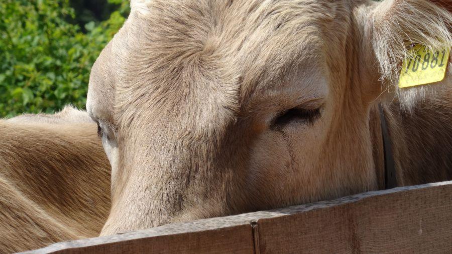 В Астраханской области стали чаще красть коров