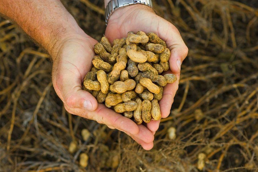 Астрахань собирается поставлять в Беларусь арахис