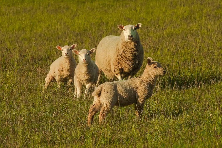 В Астрахань вернули овец-нелегалок