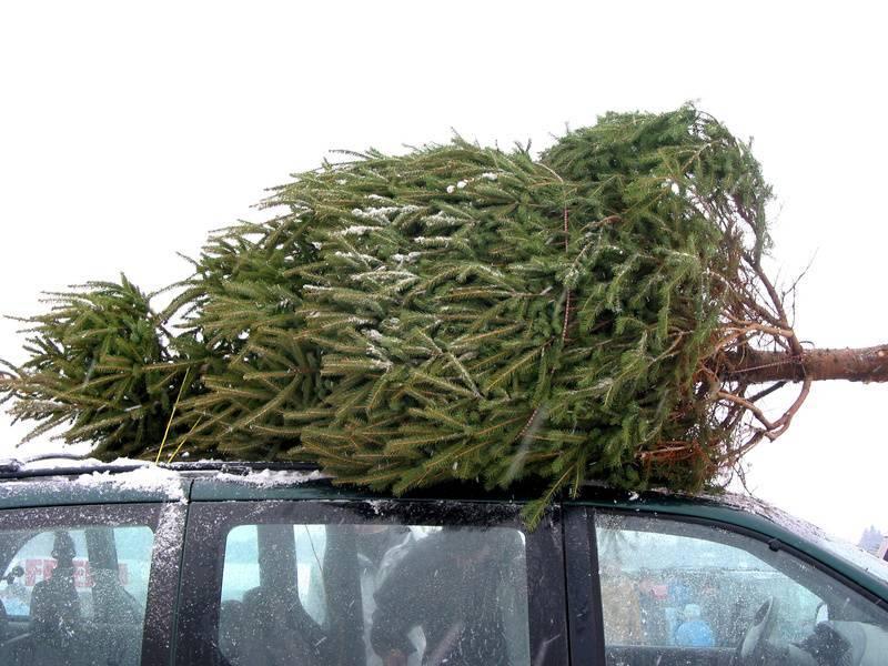 В Астрахани нашли сотню нелегальных елок