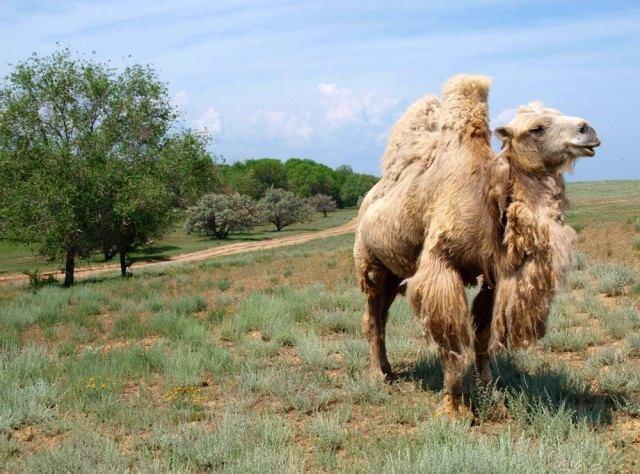 Астраханские верблюды уезжают в другие регионы