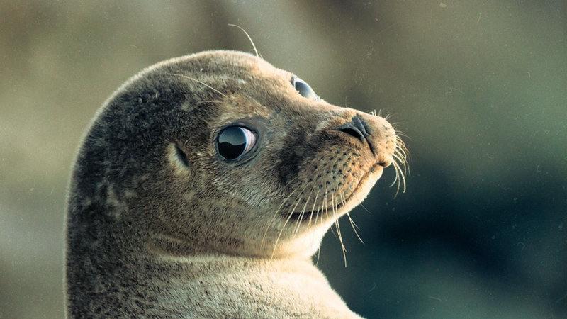 Каспийского тюленя просят занести в Красную Книгу