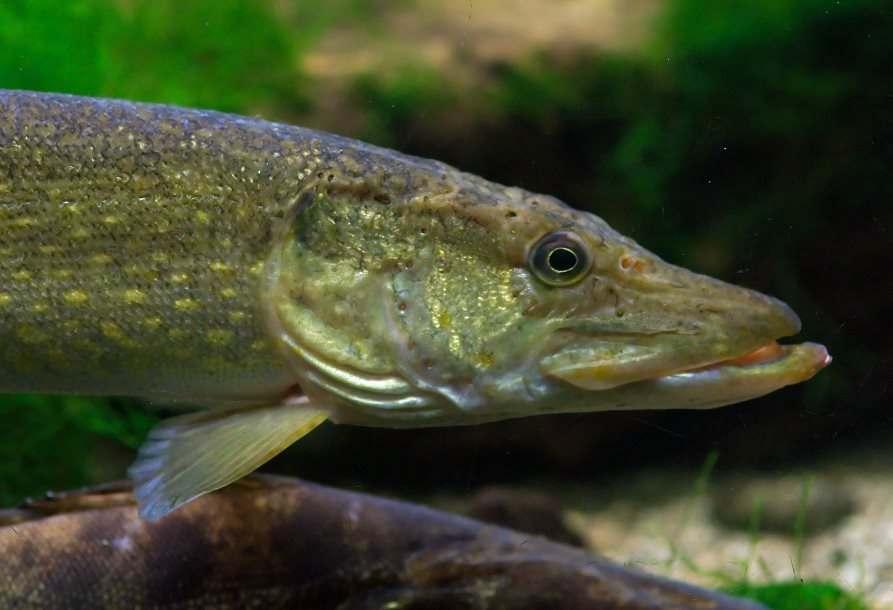 Астраханские рыбаки жалуются на малый улов щуки