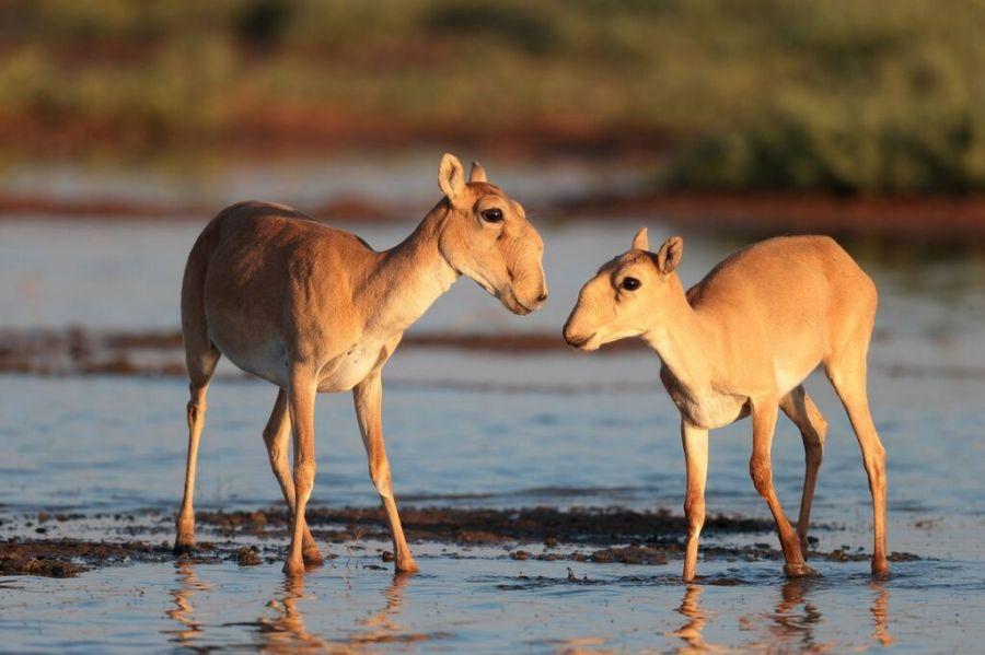 В Астраханской области ввели запрет на отстрел сайгаков и фазанов