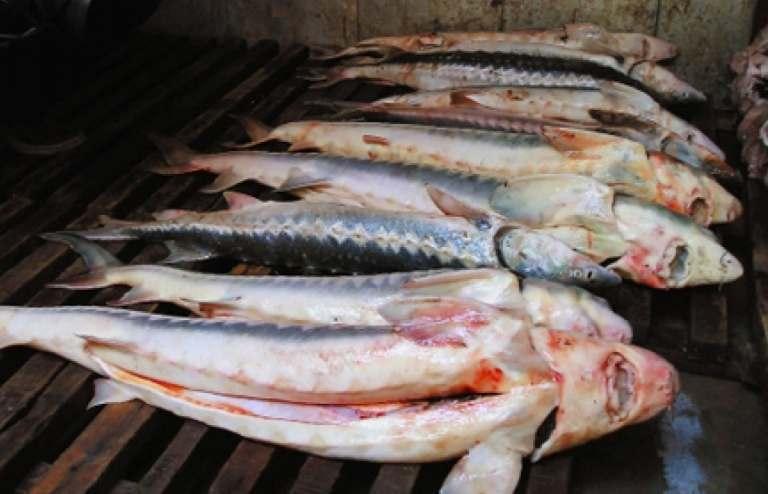 В Астраханской области у браконьеров изъято 28 тонн рыбы