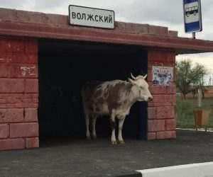 Коров с астраханских трасс предложили отправить на мясо