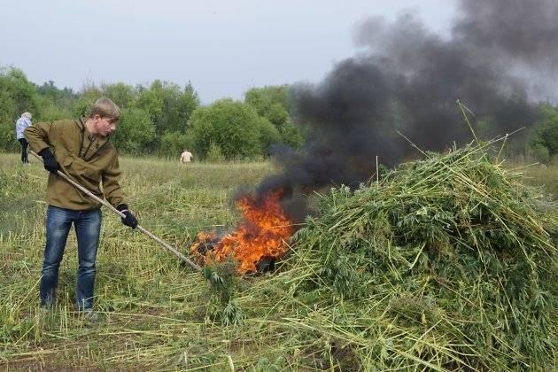 В Камызякском районе приступили к покосу конопли
