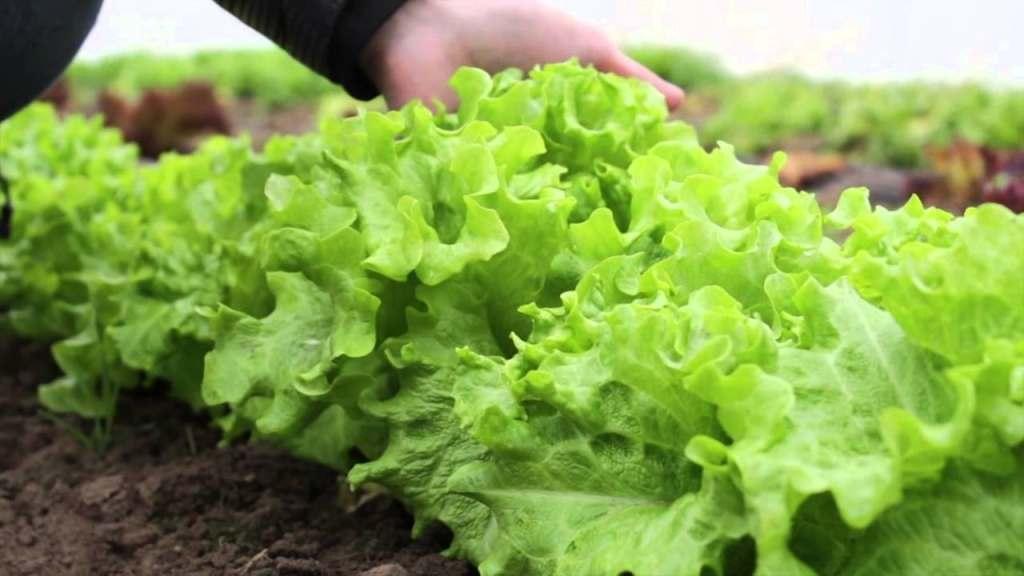 «Белая дача» закупит салат в Астраханской области