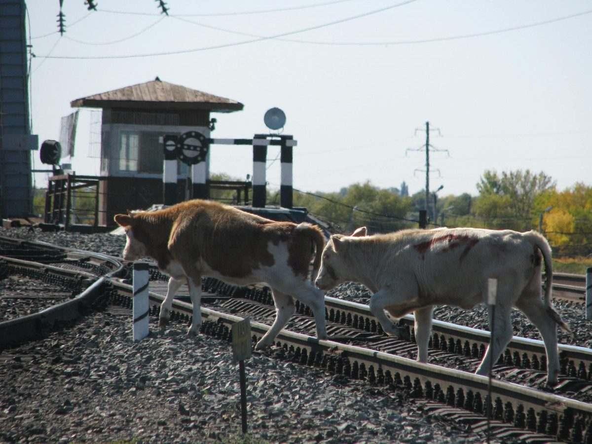 Домашние животные расхаживают по железным дорогам в Астраханской области