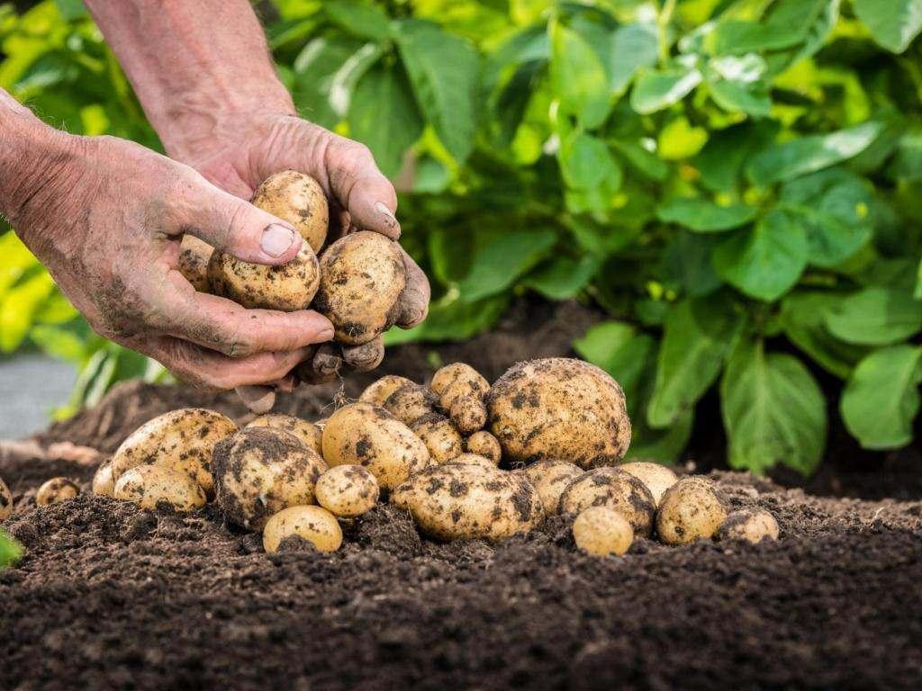 О выращивании картофеля поговорят в Лиманском районе