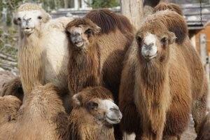 Нападавших на астраханцев агрессивных верблюдов выставят на продажу