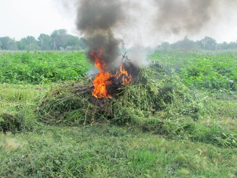 В Ахтубинском районе обнаружили и уничтожили дикорастущую коноплю