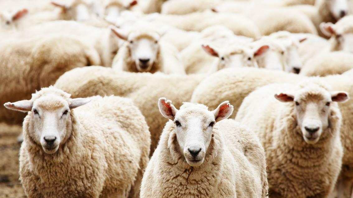 Несколько тысяч астраханских овец отправились в Грузию