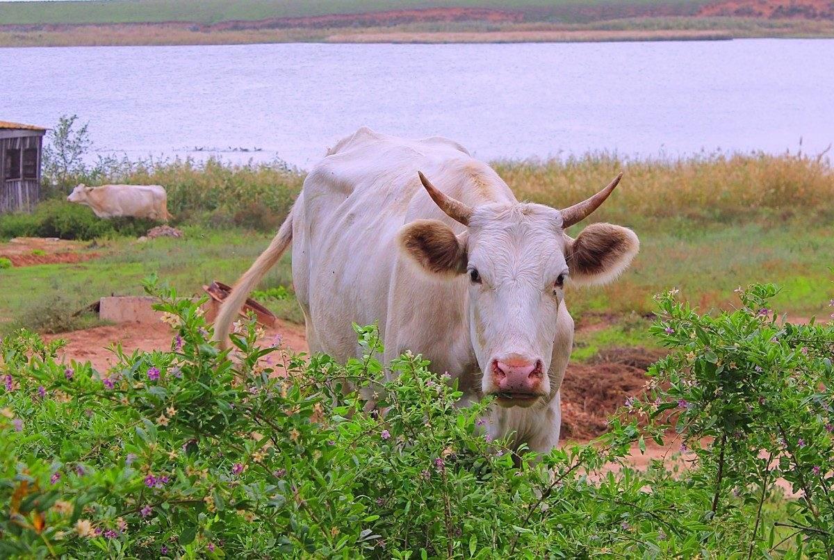 Корова чуть не зашла в терминал аэропорта Астрахани (ВИДЕО)