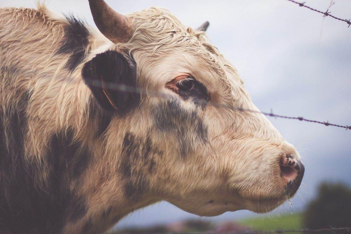 Астраханским коровам закрыли путь в Казахстан