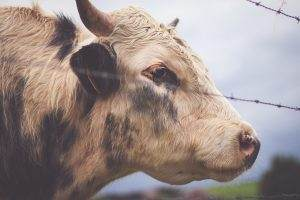 Замглавы Икрянинского района пойдет под суд за вымышленных коров