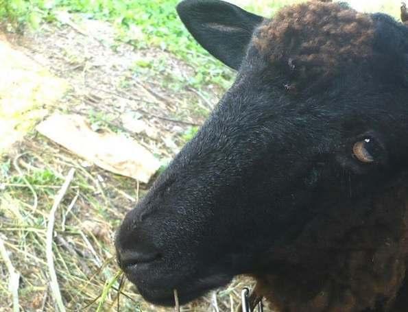 Астраханские семьи вновь получат овец от Рамзана Кадырова