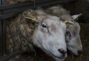 Астраханские фермеры готовы поставлять в Туркменистан больше половины своей баранины