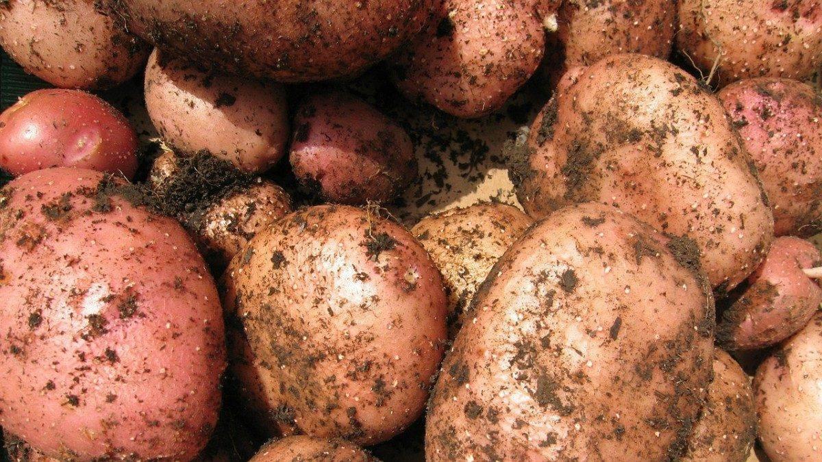 Астраханцы снова сами накормили себя картошкой