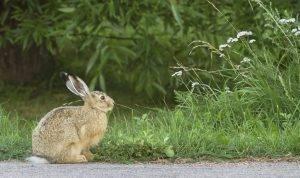 Астраханские охотники жалуются на маленькие размеры зайцев