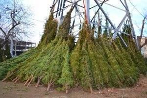 Где в Астрахани будут продавать елки этой зимой