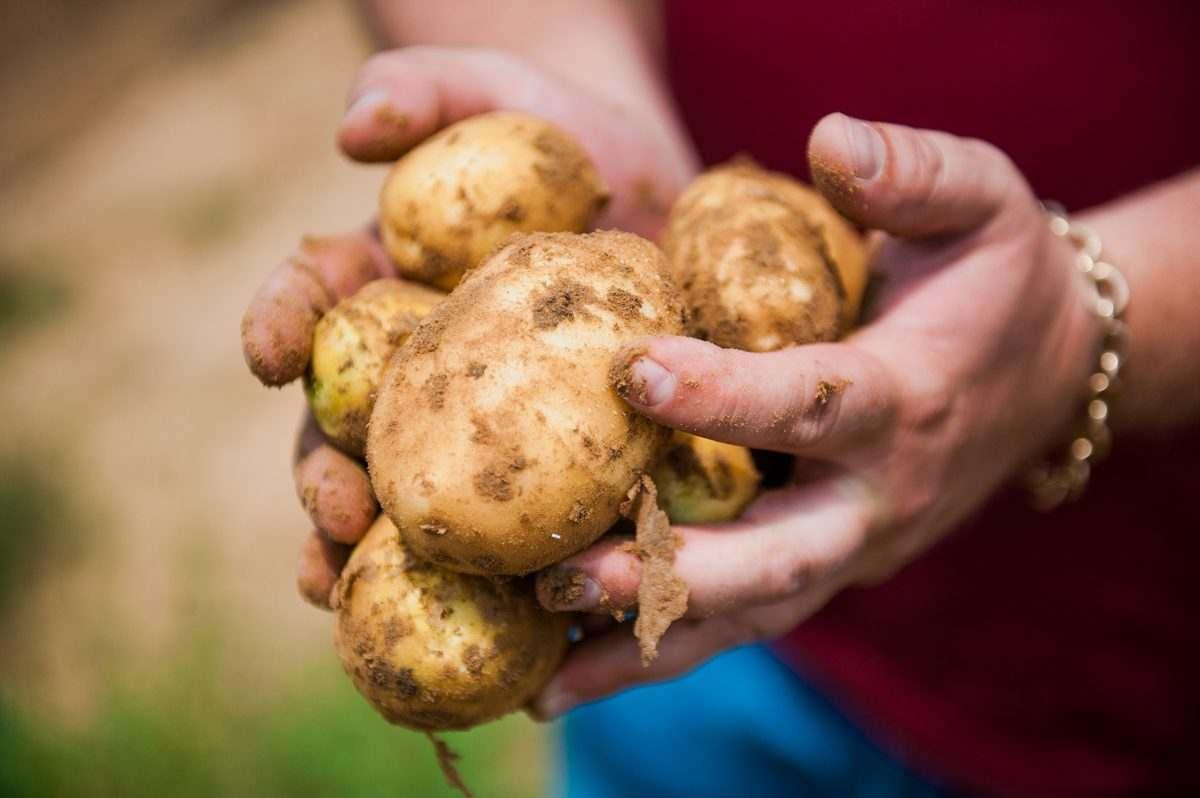Астраханская область вне федеральной программы развития картофелеводства
