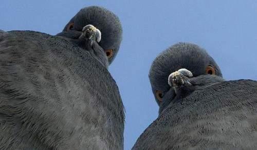 Астраханские голуби стали жертвами переедания