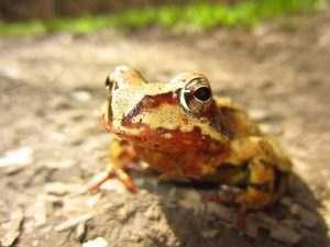 В Астрахани хотят производить лягушачьи лапки