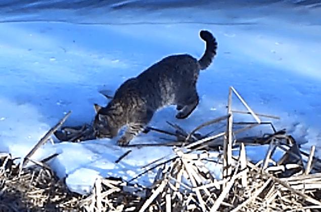 В Астраханском заповеднике впервые зафиксирован дикий кот из Красной книги