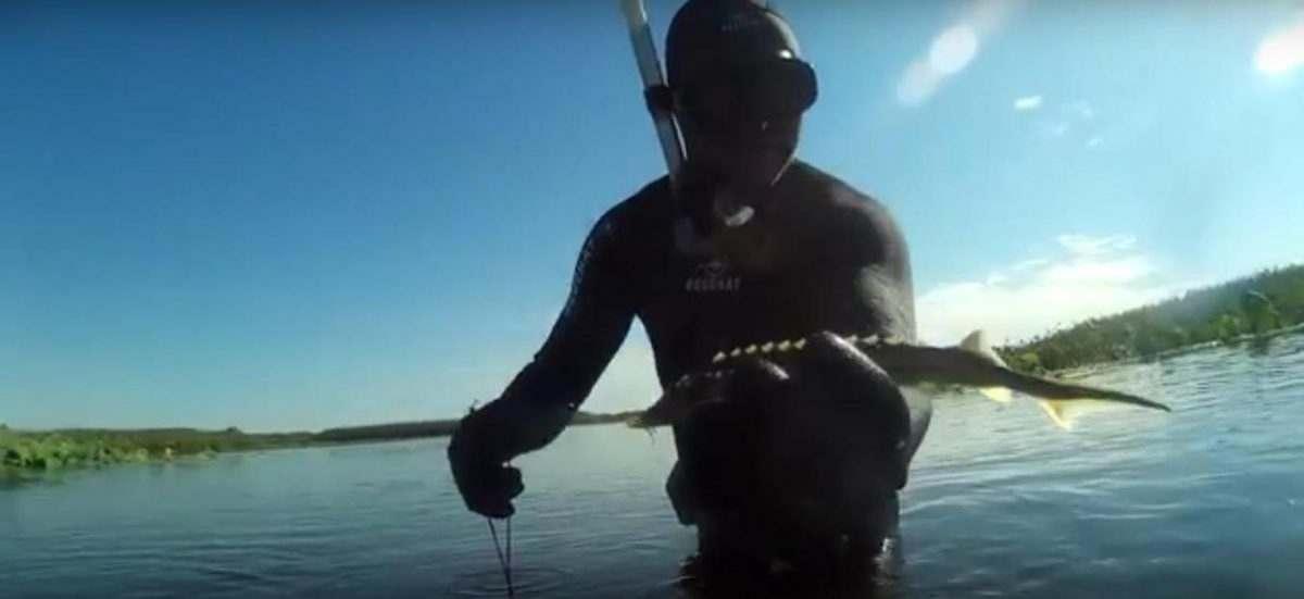 Видео: семь осетров на один квадратный метр в Волге