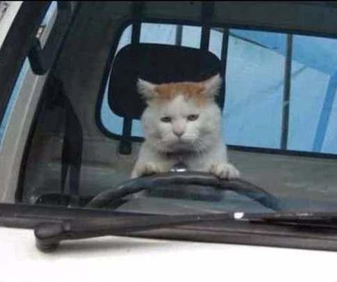 коты, дороги, водитель