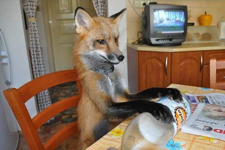 В Астрахани лисица пыталась купить продукты