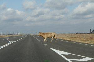 В Астраханской области опять коровы выходят на дорогу
