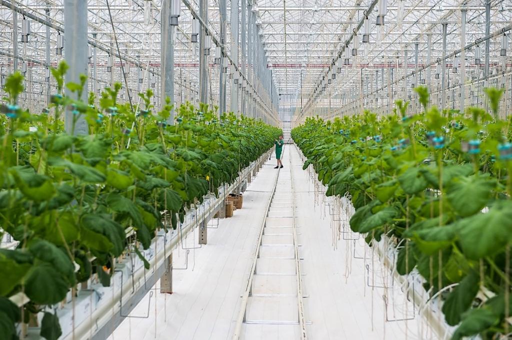 Голландцы помогут запустить крупный тепличный комплекс в Астрахани