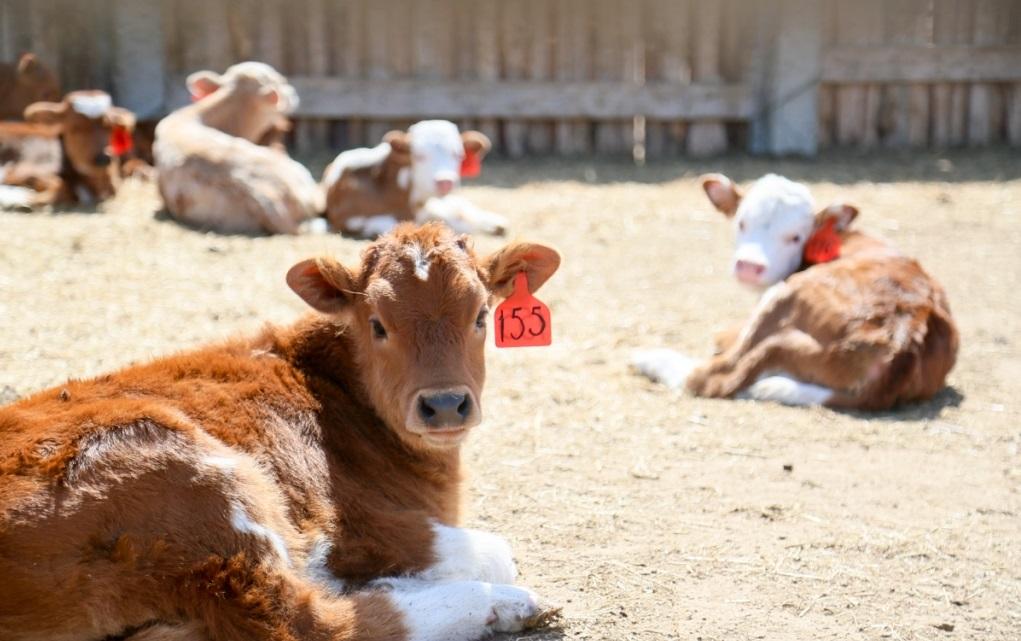 Новый животноводческий комплекс запустят в Астраханской области