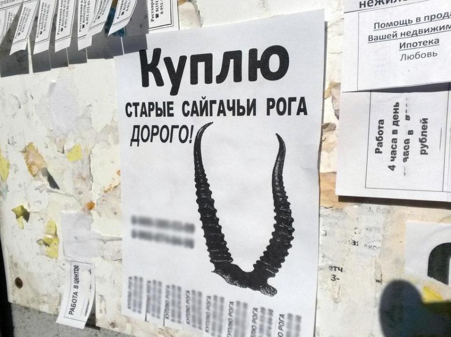 Проводники пытались ввезти в Астраханскую область сотни рогов сайгака