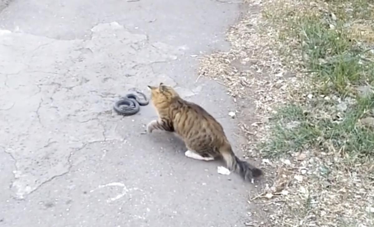 Кошачьи новости: кот подрался со змеей