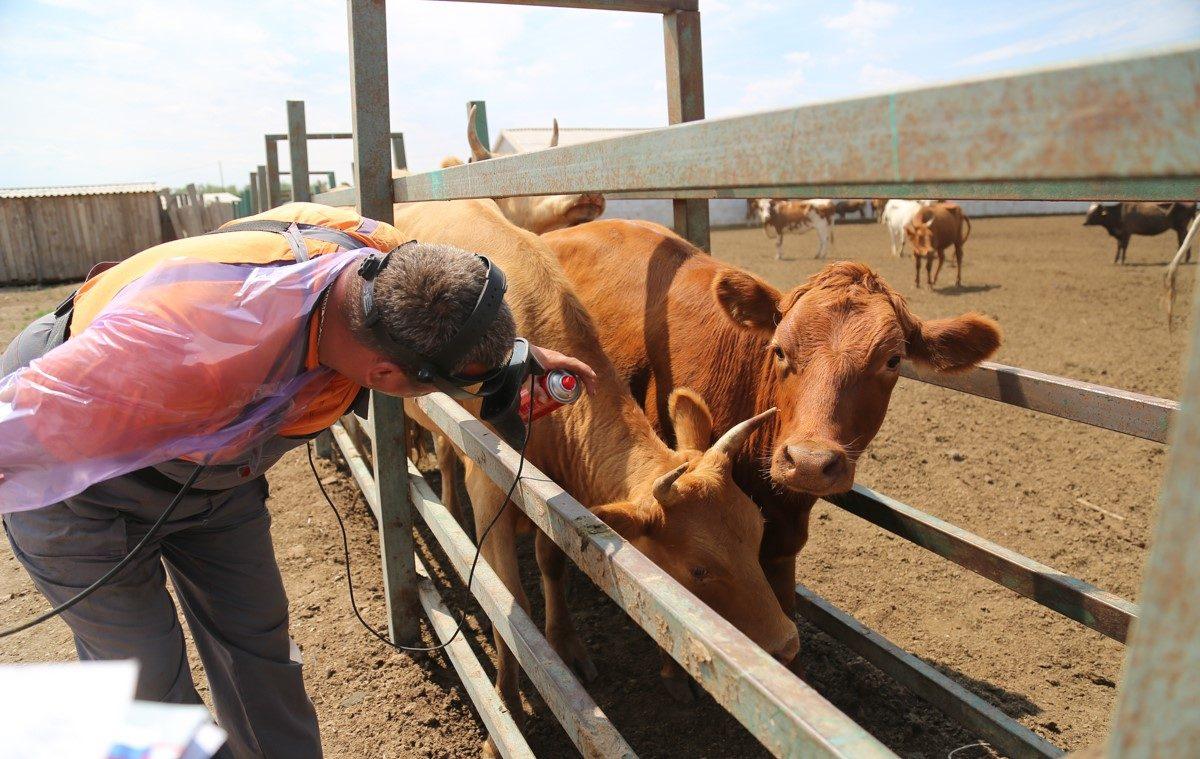 Астраханские коровы стали суррогатными матерями для элитных телят