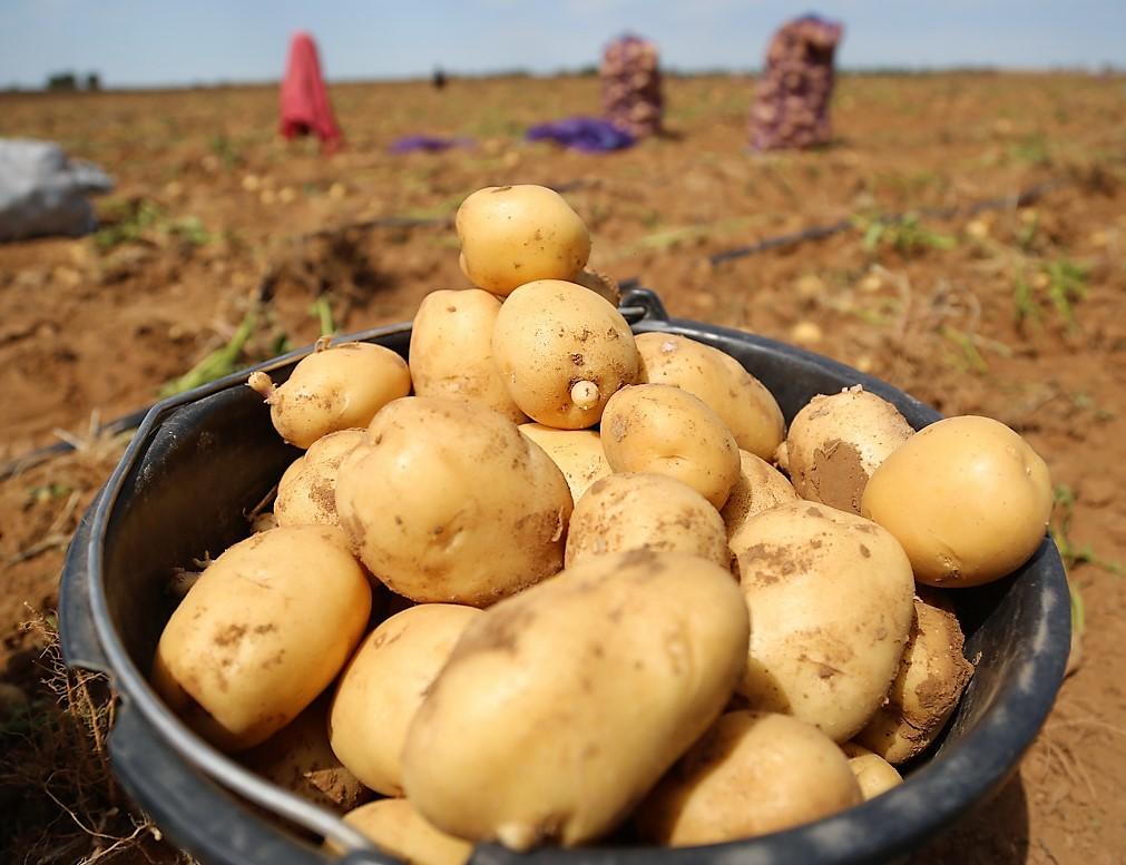 Узбекские фермеры ищут земли для выращивания картофеля в Астраханской области