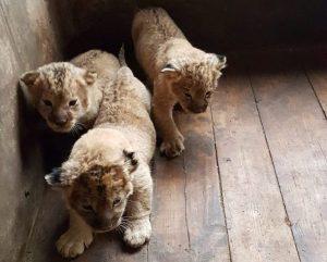 Появились фотографии новорожденных львят из астраханского зоопарка