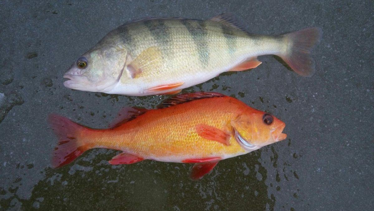 В астраханской реке поймали «золотую рыбку»