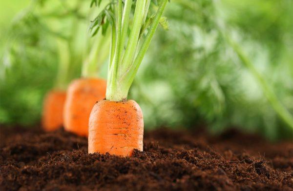 Итальянские фермеры думают о выращивании моркови и чеснока в Астраханской области