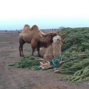 Фото дня: верблюды облюбовали елки, которые астраханцы сдали после НГ