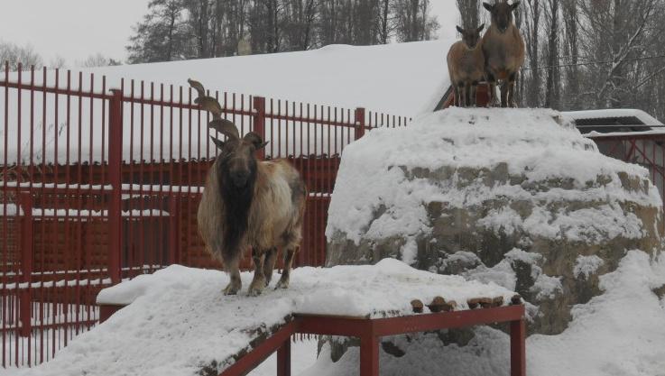 Астраханский зоопарк купил трех краснокнижных козликов и кенгуру