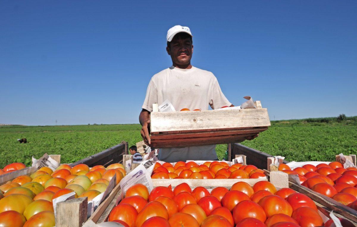 Новичок и Бульдог: астраханские фермеры собирают урожай томатов