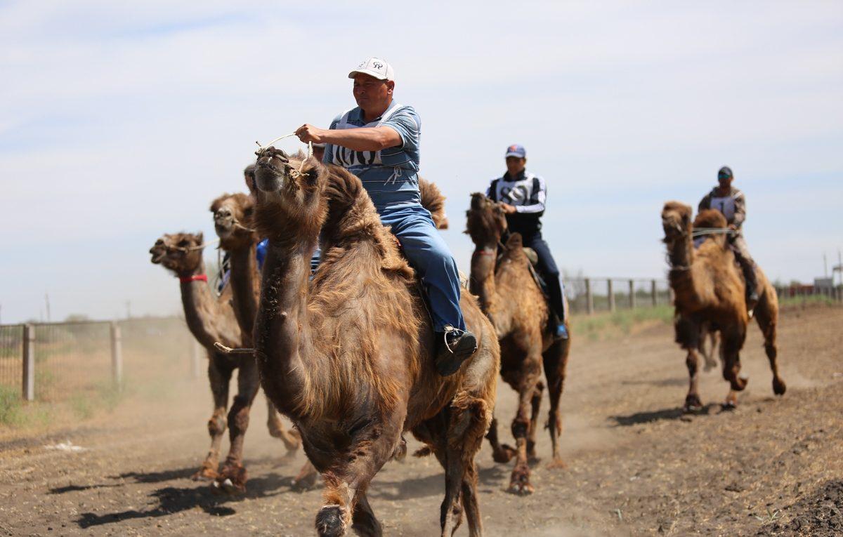 В Астраханской области прошли гонки на верблюдах