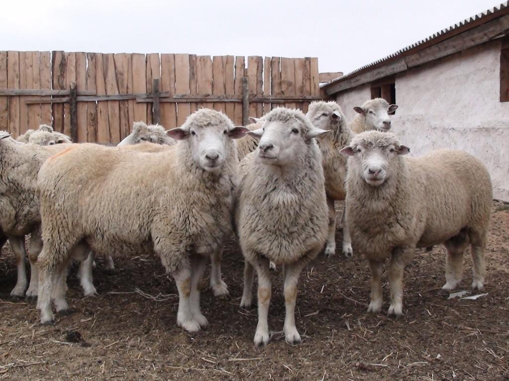 Овцы и козы из разных регионов России съехались в Астраханскую область
