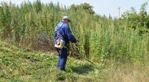 В Астрахани с каждым годом растет все меньше конопли